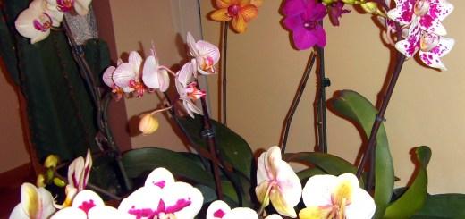 Storczyki (Orchidee)