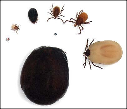 Ticks and Tick-Borne Diseases Ohioline