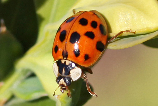 Multicolored Asian Lady Beetle Ohioline