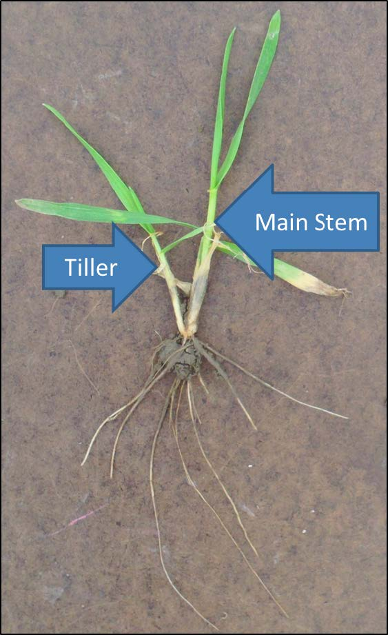 Wheat Growth Stages and Associated Management Ohioline