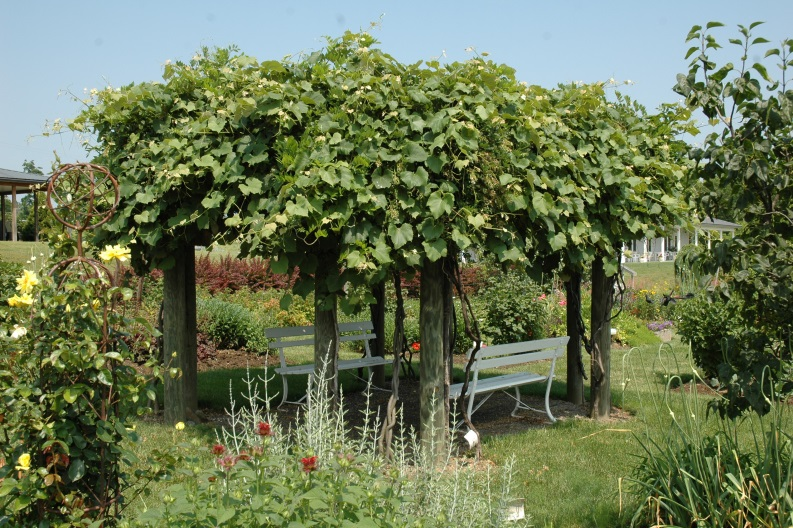 Growing Grapes in the Home Fruit Planting Ohioline