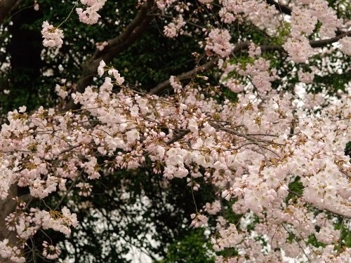 DC Cherry Blossoms11 500x375 {today I love...}