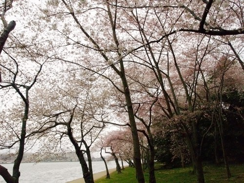 DC Cherry Blossoms2 500x375 {today I love...}