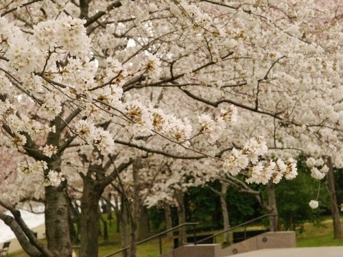 DC Cherry Blossoms6 500x375 {today I love...}