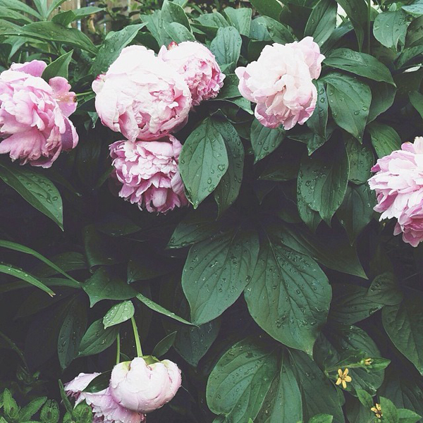 OSBP At Home Garden Update Peonies Instagram OSBP At Home: Garden Update