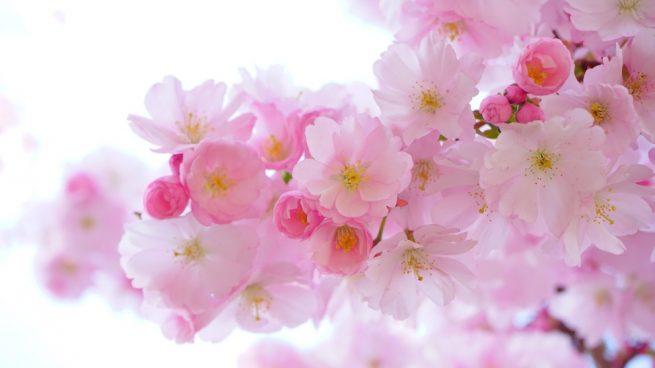 Conoce la Sakura o flor del cerezo