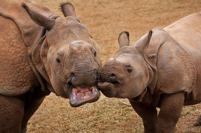 Niki and Rupert, two of Oklahoma City Zoological and Botanical Garden's Indian rhinos. (OKC Zoo / provided)