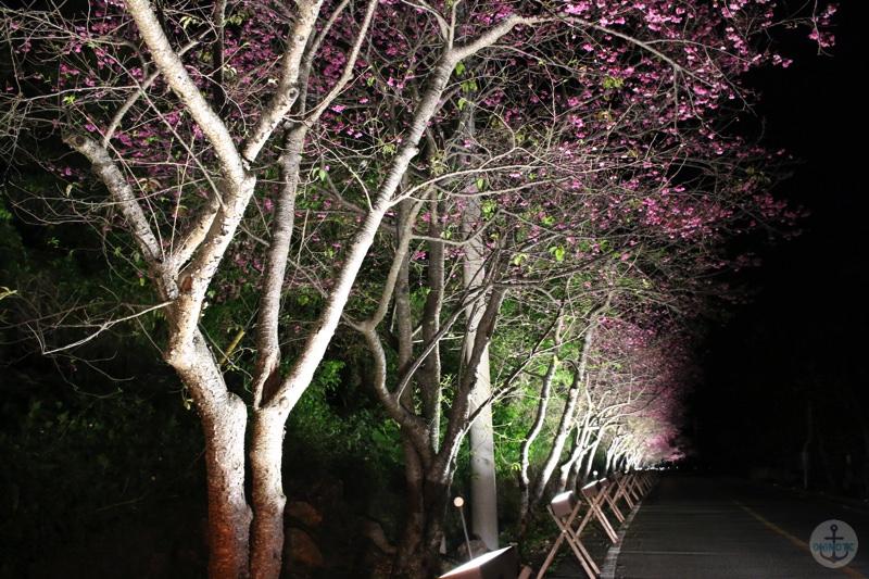 第8回 今帰仁グスク桜まつり