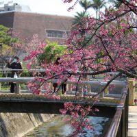 那覇市与儀公園の桜-in-2015.jpg
