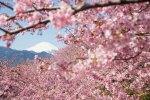 日本の素晴らしき桜 2014