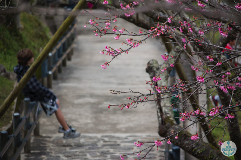 名護中央公園2016 桜まつりを楽しむ外国人