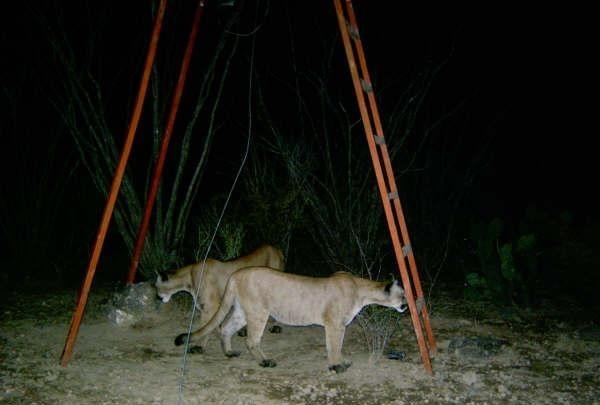 Oklahoma Wildlife Control Mountain Lion Cougar Puma Panther