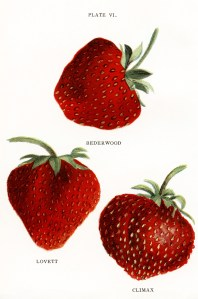 vintage strawberries clip art, jacob biggle berry book image, red strawberry illustration, public domain berries clipart