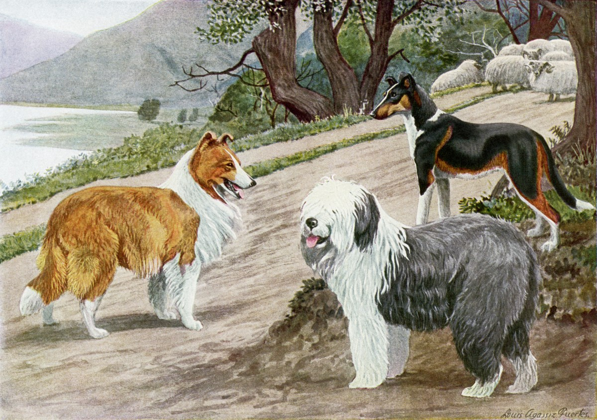 Collie Old English Sheep Dog Smooth Collie Old Design