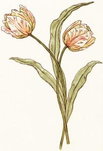 kate greenaway tulip, free vintage clipart flower, peach tulips, royalty free tulip image, storybook flowers, free vintage image flowers, free printable flower