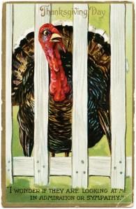tuck's vintage postcard, antique thanksgiving postcard, turkey image, fenced turkey, old postcard, free digital thanksgiving graphic, free vintage ephemera