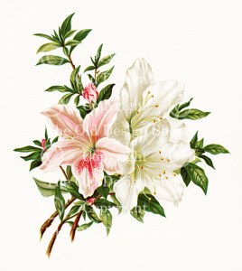 pink white azaleas, vintage flower, flowers from dell and bower