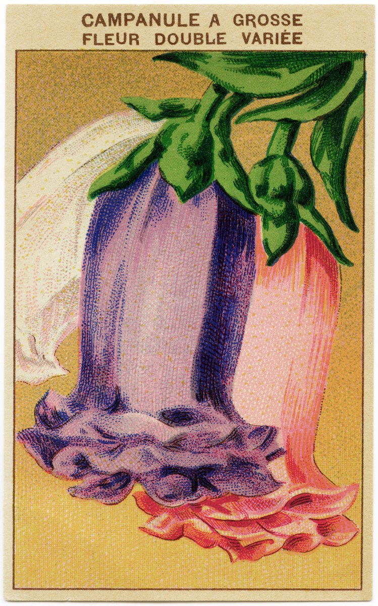 free vintage image french bellflower seed label