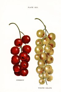 jacob biggle berry book image, vintage fruit clipart, cherry white grape image, food clip art, cherries grapes old illustration