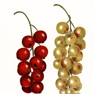 Cherries and White Grapes ~ Free Clip Art