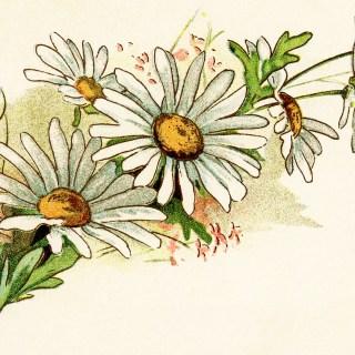 Free Vintage Image ~ Cluster of Daisies