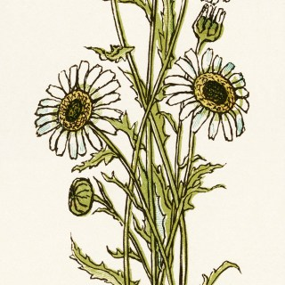 Kate Greenaway Bouquet of Daisies ~ Free Vintage Image