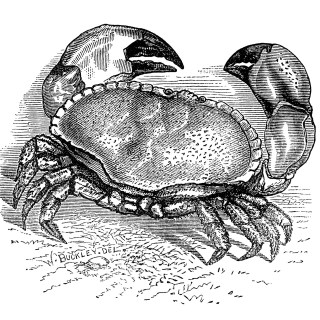 Vintage Crab Engraving ~ Free Clip Art