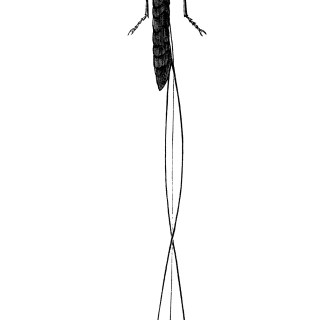 Long-tailed Ichneumon Fly ~ Free Vintage Clip Art
