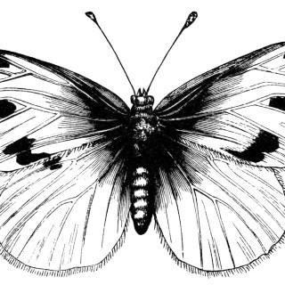 Beautiful Butterfly ~ Free Vintage Clip Art