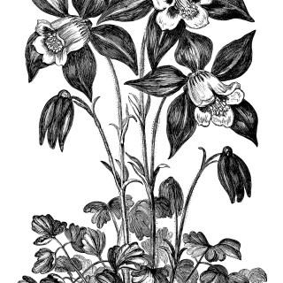 Aquilegia Glandulosa Flower ~ Free Vintage Clip Art