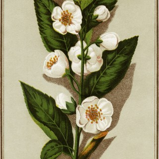 Victorian Tea Plant Trading Card ~ Free Graphic