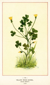 yellow wood sorrel, oxalis stricta, vintage botanical illustration, yellow flower clipart, vintage floral image, printable flower graphics