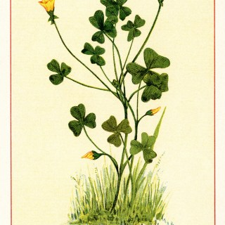Yellow Wood-Sorrel ~ Free Vintage Botanical Image