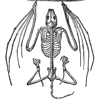 Bat Skeleton ~ Free Vintage Clip Art
