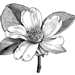 Camellia Oleifera Flower – Free Vintage Clip Art
