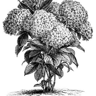 Hydrangea Hortensis ~ Free Vintage Clip Art
