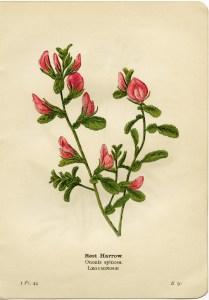 rest harrow, ononis spinosa, pink flower printable, vintage flower clip art, floral botanical illustration