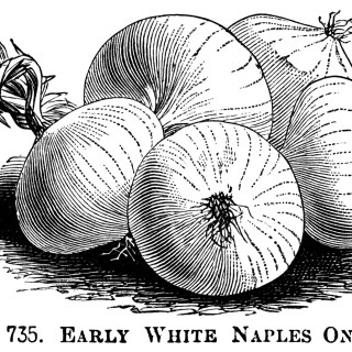 Three Varieties of Onions ~ Free Vintage Clip Art