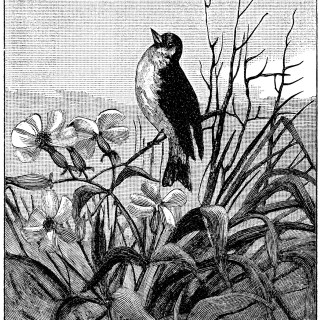 Bird on Flowering Branch ~ Free Vintage Clip Art
