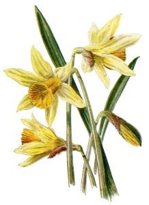 daffodil clip art, vintage flower illustration, yellow spring flower, daffodil botanical drawing, Frederick Edward Hulme