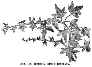 Hedera Helix, ivy clip art, botanical engraving, black and white clip art, vintage ivy illustration