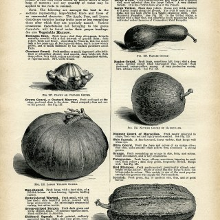 gourd illustration, vintage book page download, squash clip art, printable garden graphics, squash gourd clipart