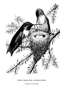vintage bird clip art, hummingbird illustration, ruby throat hummingbird, black and white graphics, printable bird illustration, bird on branch, Louis Agassiz Fuertes
