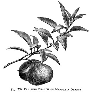 Fruiting Branch of Mandarin Orange