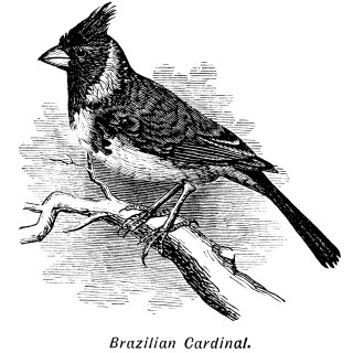 Brazilian Cardinal Bird Clip Art