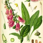 Plate Drawing of Digitalis Purpurea by Koehler