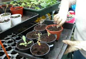 Picture of seedlings being transplanted
