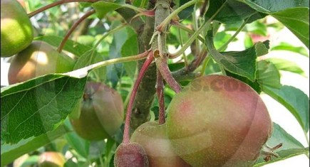 Over 100 varieties of apples will be on display
