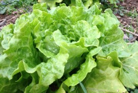 Concept - a Summer Crisp lettuce is a great choice to sow in late spring because it can tolerate more heat than most lettuce types