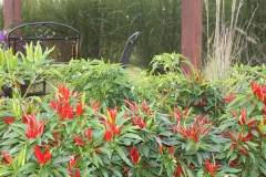 We use ornamental peppers almost everywhere at the farm to add color to the landscape